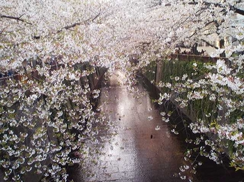 2011.04.12 目黒川 桜並木