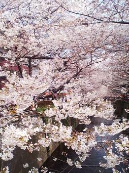 2012.04.04 目黒川の桜並木