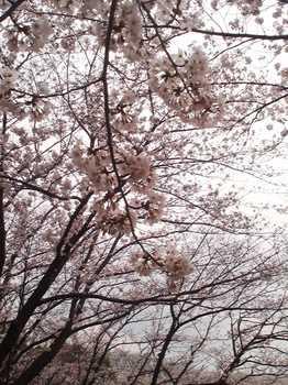2013.03.23 お花見(東方公園)
